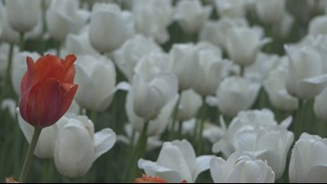 Tulip Time 2019 offers expanded events