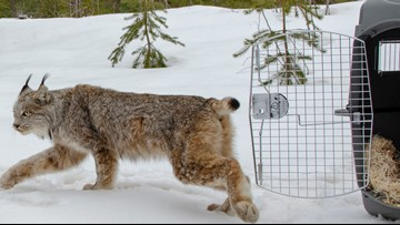 Canada lynx caught in Michigan's Thumb moves to the UP