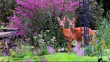 Keep deer from munching through your garden