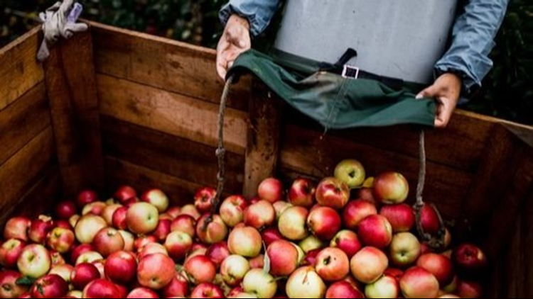 Whether you're picking them from an orchard or from a shelf in the grocery store, here's a look at the different varieties of apples grown in Michigan and when they're harvested, so you know when to be on the lookout for them.