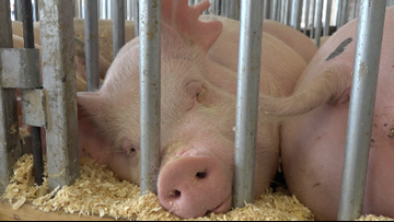 How to prevent swine flu during your visit to the fair