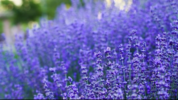 Local lavender farm giving back to youngest in the community