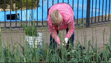Volunteers dig up Tulip Time bulbs and take them home