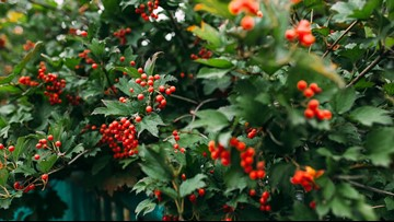 Decorating for the holidays: Holiday cactus, holly berries and evergreen