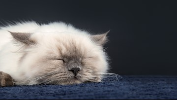 Missing Persian cat reunites with family after 3 years
