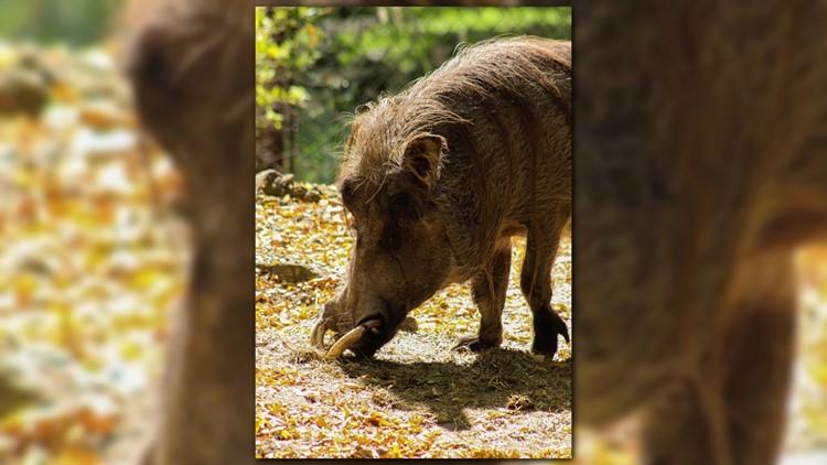 17 Year Old Warthog Dies At John Ball Zoo Wzzm13 Com