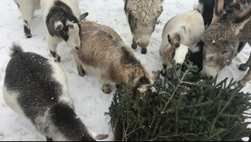 Goats at New Era farm are 'pining' for your leftover Christmas trees