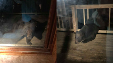 Bear spotted in Twin Lake Saturday night