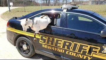 Police take goats into custody in Newaygo County