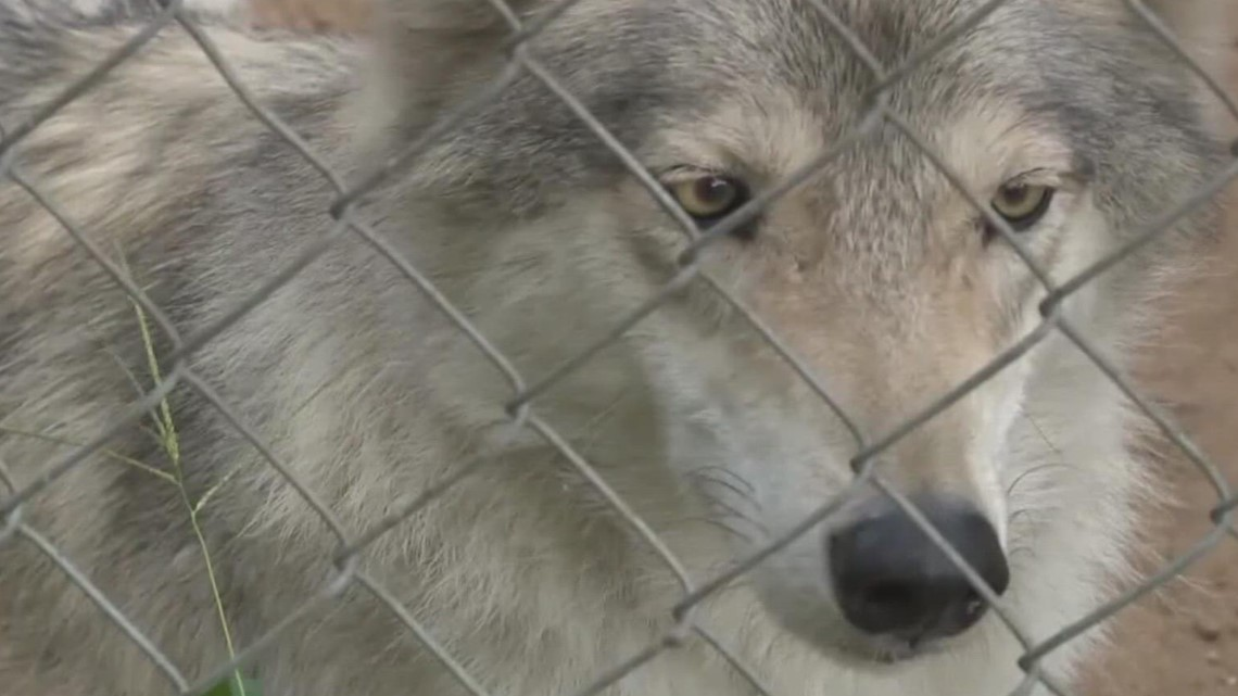 North Carolina facility to take in 4 wolf-dogs from Howling Timbers as civil case continues