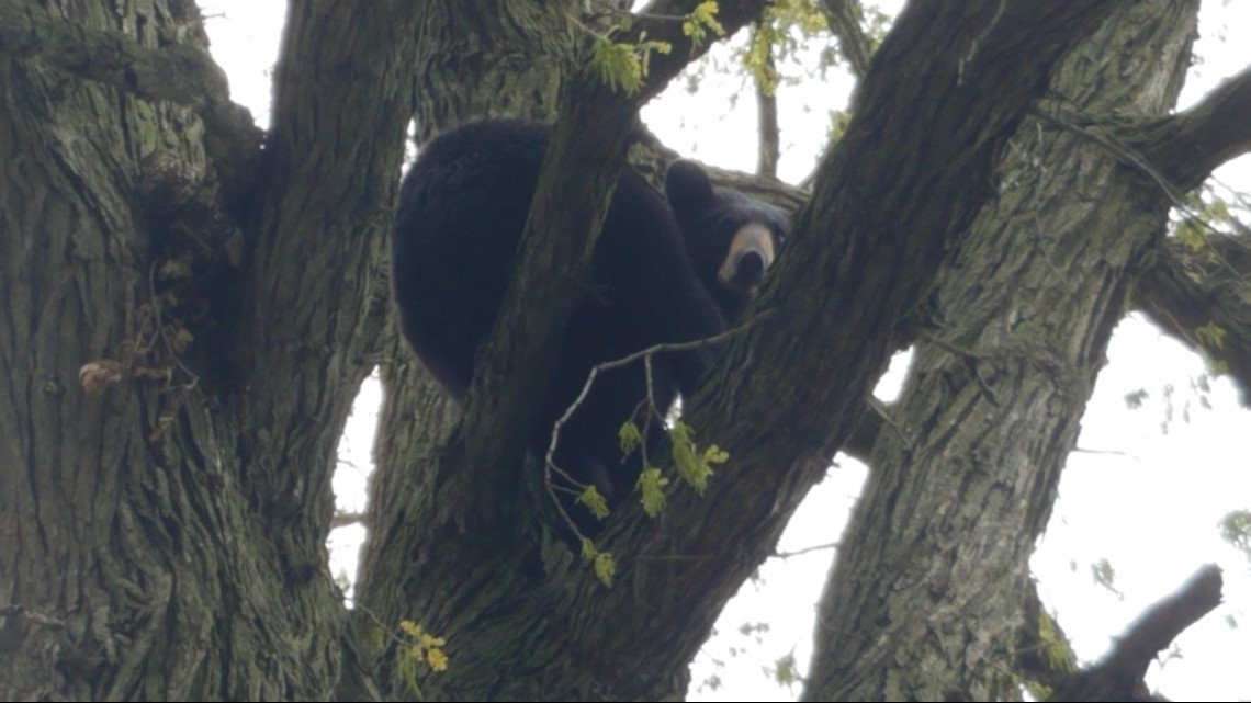 Bear tranquilized in Grand Rapids neighborhood, taken north by DNR