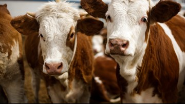 Herd of cows on the loose in Kalamazoo County