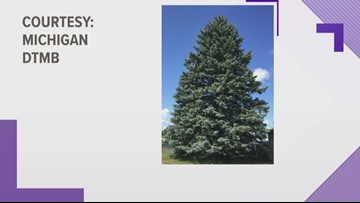 The state releases first look at official Christmas tree