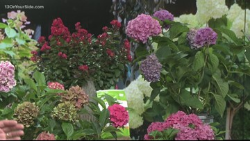 Hydrangeas can bring a bright light to your gardens