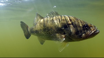 Largemouth bass virus found in 2 additional Michigan lakes