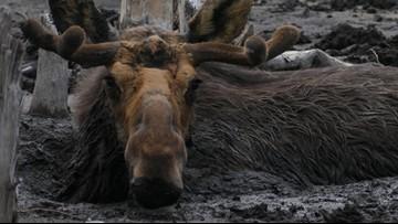 Stuck in the mud: 4 moose dead on Isle Royale