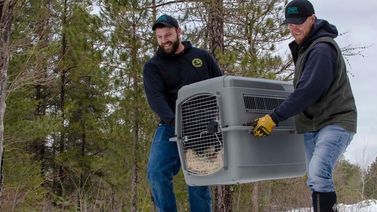 canada lynx freed