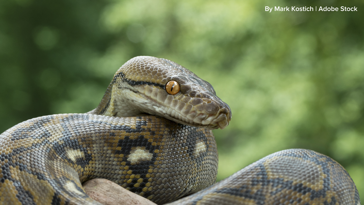 Florida approves ban on pet pythons, other reptiles