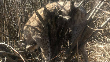 Dead bobcat found in Montcalm County