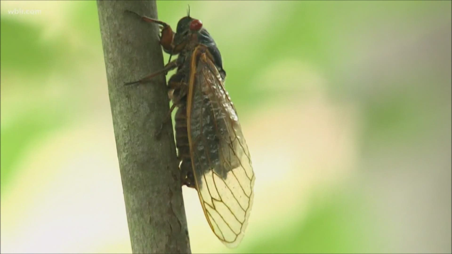 After 17 Years Underground Brood X Cicadas Set To Emerge In The Coming Weeks Wzzm13 Com