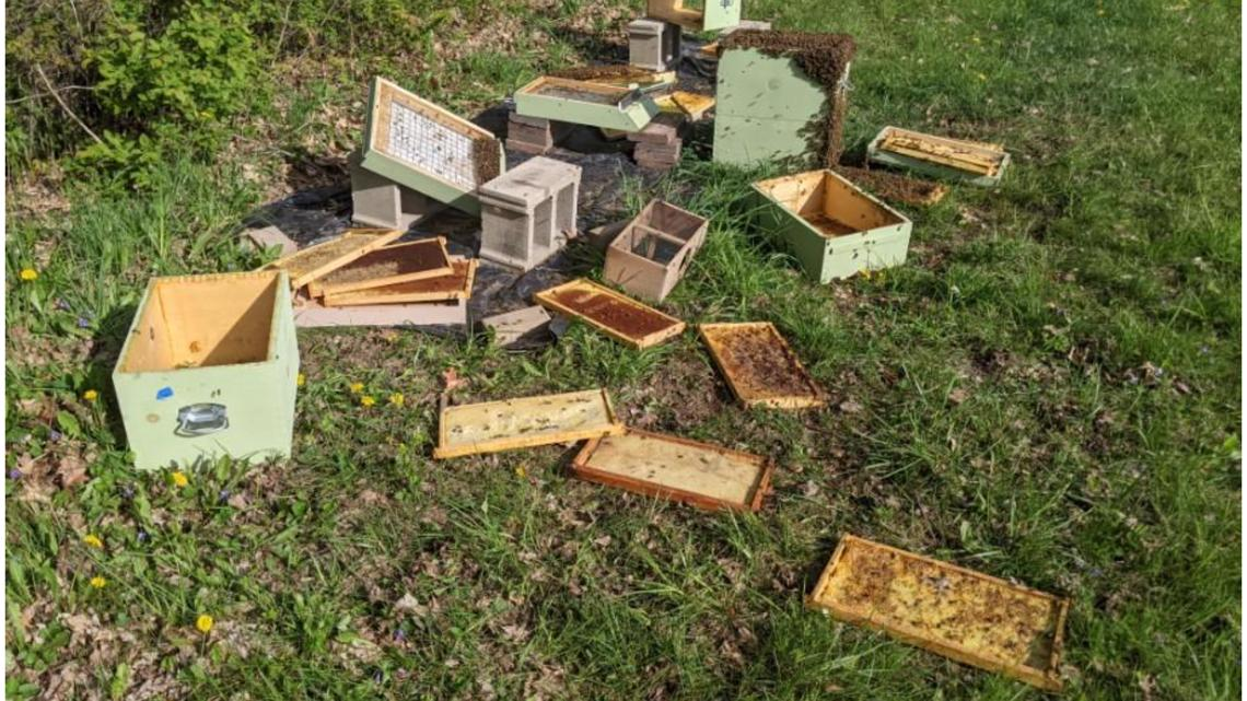 Real life Winnie the Pooh attacking Coopersville honey bee hives