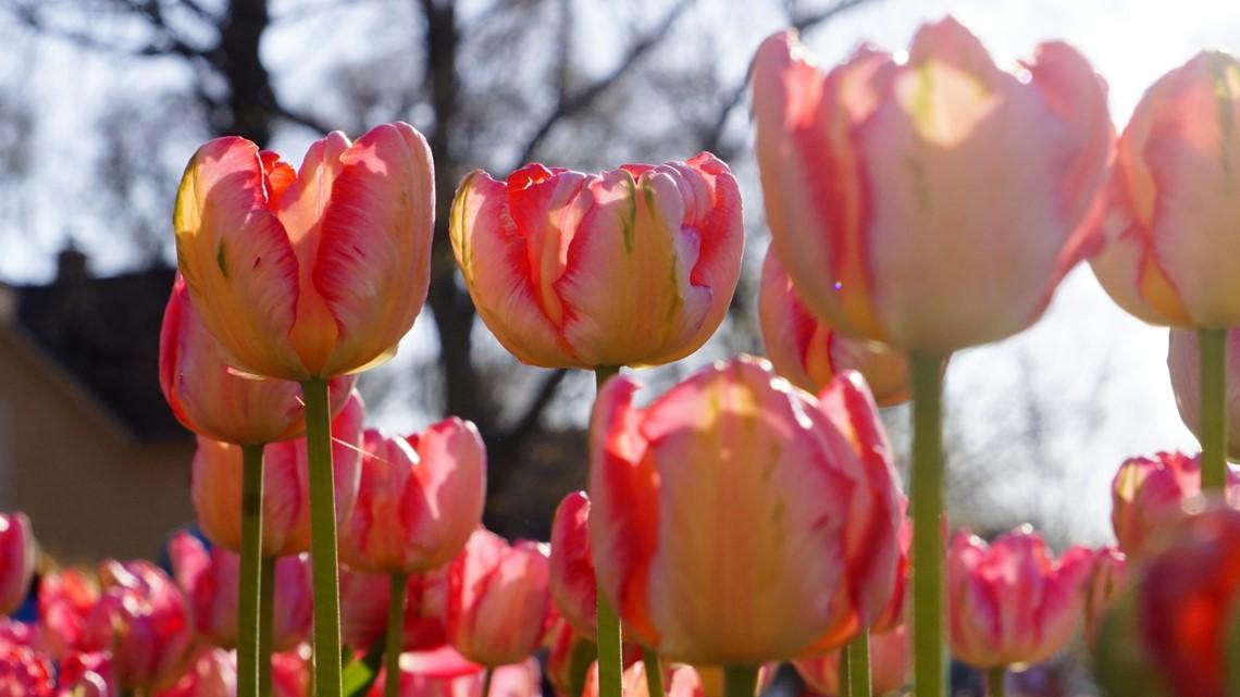 Tiptoeing Through Tulip Time 2019
