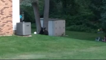 Police: Bear getting 'sick of city life' and moving out of Walker