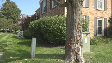 Check for dying trees before severe winds and storms strike