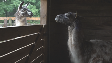 Llama mauled: Ottawa County pet saved after vicious dog attack