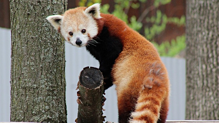 wasabi the red panda