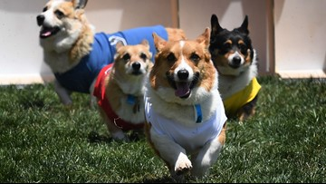 Corgis will take over Riverside Park at the end of the month