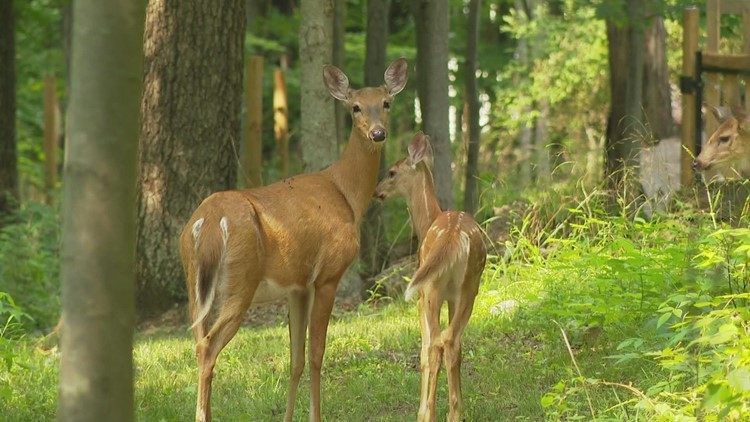 White-tailed deer breeding season may be cause of multiple serious deer-related crashes recently in West Michigan