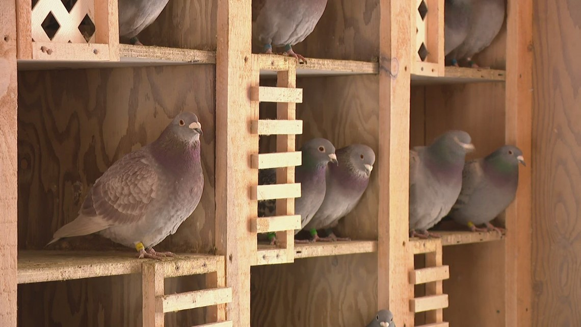 Pigeons help Michigan man cope with COVID-19
