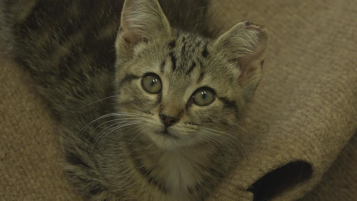 Cat-based rescue, focused on adoption, opening in Grand Rapids