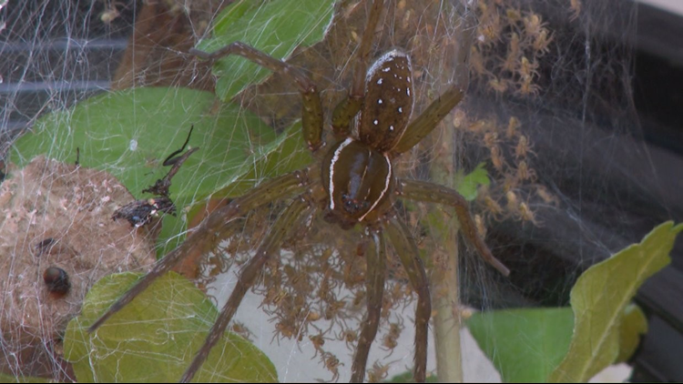Closer look at the Six Spotted Fishing spider and her babies.