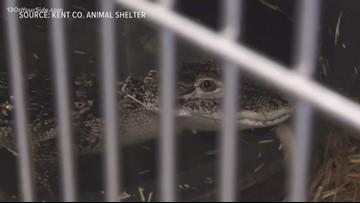 Alligator seized from Alpine Township duplex