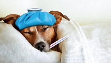 Pet Peeves: Understanding canine influenza
